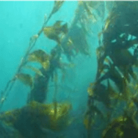 Channel-Islands-Kelp-Beds.png