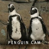 monterey_bay_penguin_cam1.png