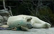 san_diego_zoo_polar_bear_cam.jpg