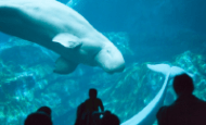 gerogia_aquarium_beluga_cam1.png