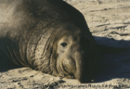 elephant_seal1.png