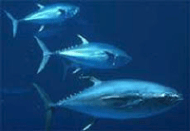 bluefin_tuna1.png