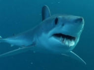 mako_shark1.png